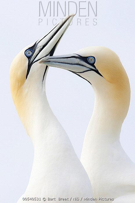 Northern Gannet (Morus bassanus) pair greeting each other, Saltee Island, Ireland  -  Bart  Breet/ NIS