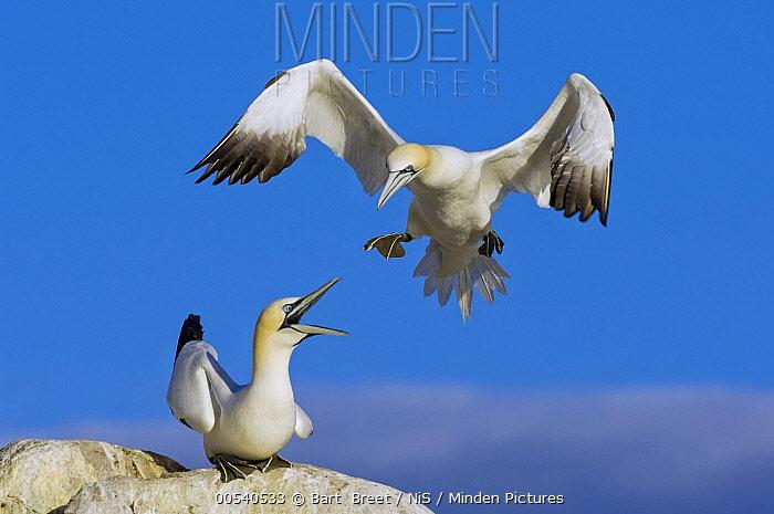 Northern Gannet (Morus bassanus) landing beside calling bird, Saltee Island, Ireland  -  Bart  Breet/ NIS