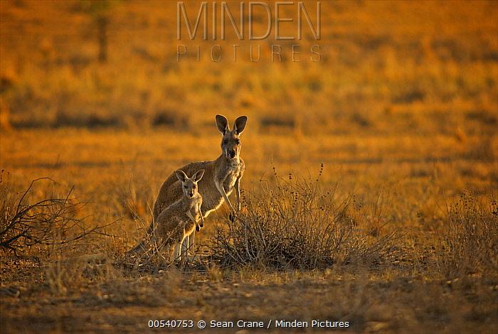 Red Kangaroo (Macropus rufus) mother and juvenile, Flinders Ranges National Park,  Australia  -  Sean Crane