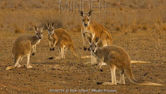 Red Kangaroo (Macropus rufus) parent and joeys, Flinders Ranges National Park, Australia  -  Sean Crane