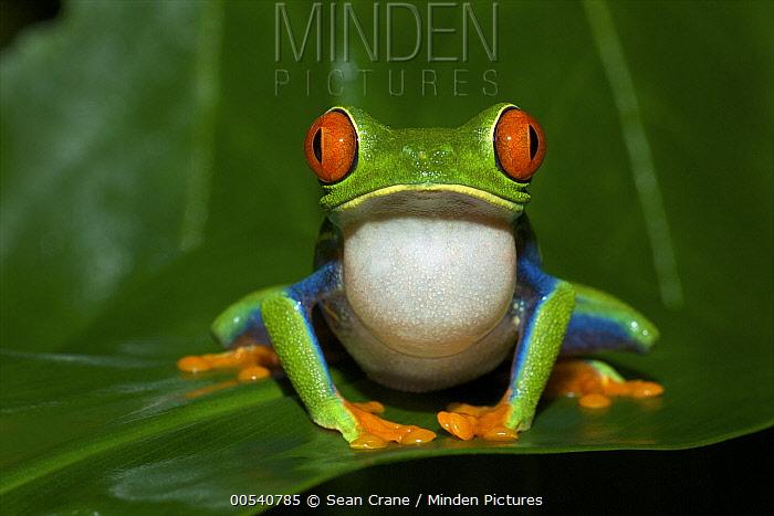 Red-eyed Tree Frog (Agalychnis callidryas) calling, Tortuguero National Park, Costa Rica  -  Sean Crane