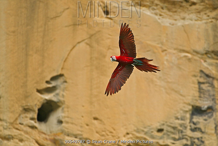 Red and Green Macaw (Ara chloroptera) flying near clay lick, Tuichi River, Bolivia  -  Sean Crane