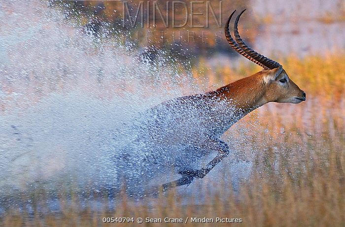 Lechwe (Kobus leche) running through water, Okavango Delta, Botswana  -  Sean Crane