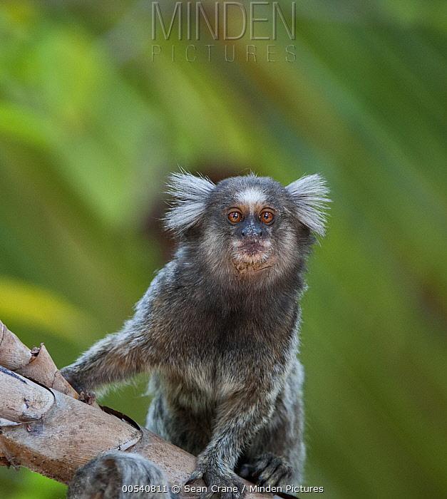Common Marmoset (Callithrix jacchus), Piaui, Brazil  -  Sean Crane