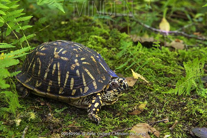 Eastern Box Turtle (Terrapene carolina), Orianne Indigo Snake Preserve, Georgia  -  Pete Oxford