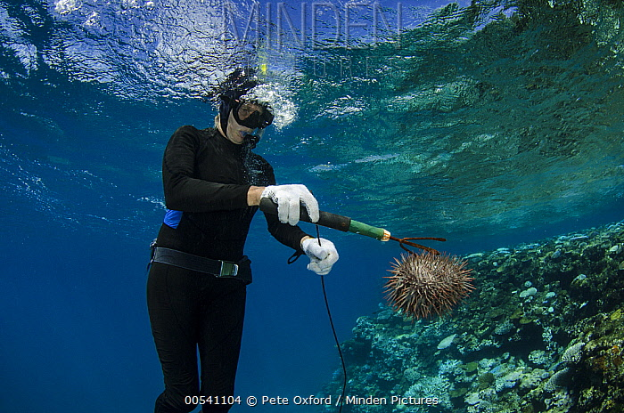 Crown-of-thorns Starfish (Acanthaster planci) being removed by Marlen Zigler, since the starfish is detrimental to the coral reef, Koro Island, Fiji  -  Pete Oxford