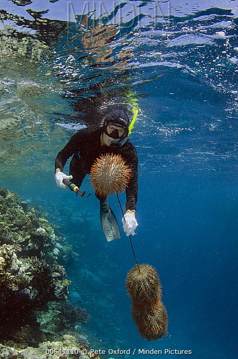 Crown-of-thorns Starfish (Acanthaster planci) group being removed by Marlen Zigler, since the starfish is detrimental to the coral reef, Koro Island, Fiji  -  Pete Oxford
