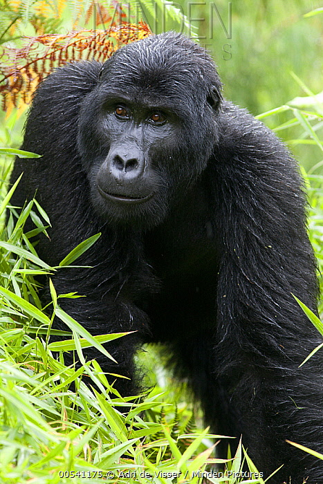 Mountain Gorilla (Gorilla gorilla beringei) in rain, Bwindi Impenetrable National Park, Uganda  -  Adri de Visser