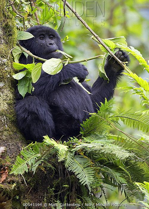 Mountain Gorilla (Gorilla gorilla beringei) feeding in tree, Bwindi Impenetrable National Park, Uganda  -  Marc Gottenbos/ NIS