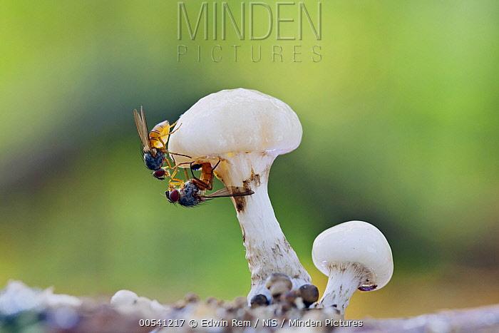 Fly (Suillia variegata) pair laying eggs on Porcelain Mushroom (Oudemansiella mucida), Netherlands  -  Edwin Rem/ NIS