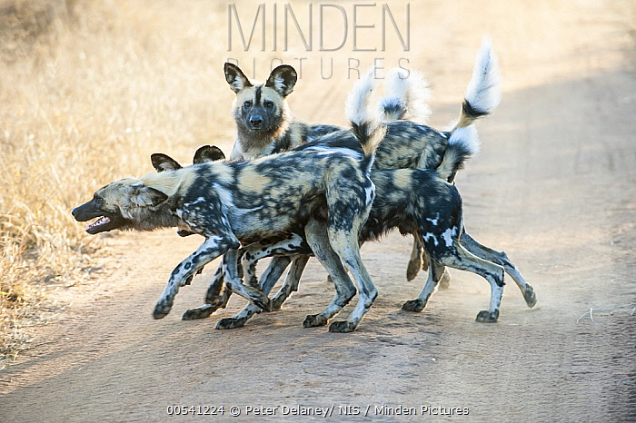 African Wild Dog (Lycaon pictus) pack greeting each other on road, Madikwe Game Reserve, South Africa  -  Peter Delaney/ NIS