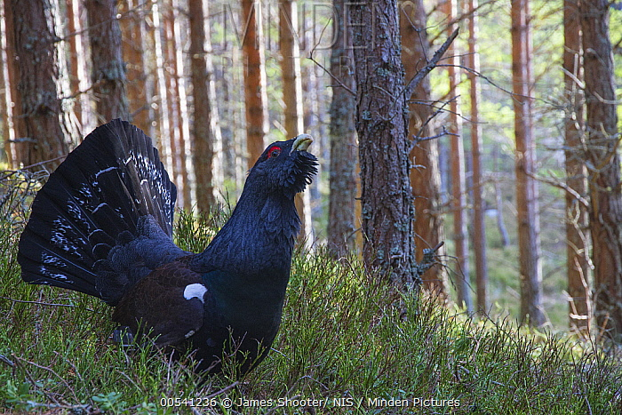 Western Capercaillie (Tetrao urogallus) male displaying in forest, Cairngorms National Park, Scotland, United Kingdom  -  James Shooter/ NIS