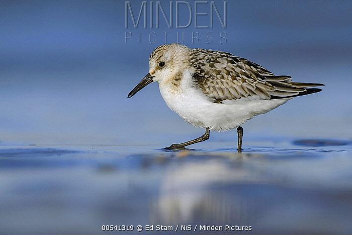 Sanderling (Calidris alba) foraging, Ijmuiden, Netherlands  -  Ed Stam/ NIS