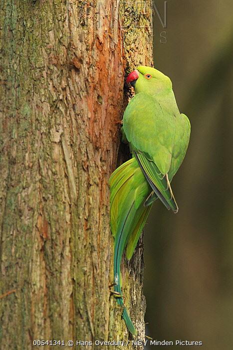 Rose-ringed Parakeet (Psittacula krameri), Netherlands  -  Hans Overduin/ NIS