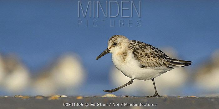 Sanderling (Calidris alba) on beach near flock, Ijmuiden, Netherlands  -  Ed Stam/ NIS