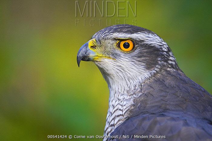 Northern Goshawk (Accipiter gentilis), Netherlands  -  Corne van Oosterhout/ NIS