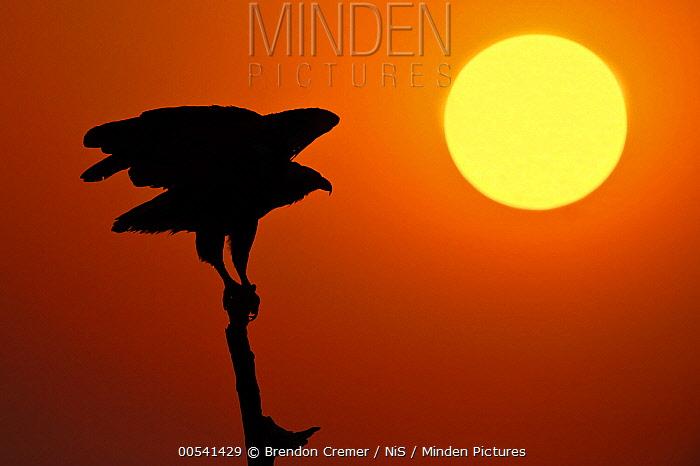 African Fish Eagle (Haliaeetus vocifer) taking flight at sunset, Chobe National Park, Botswana  -  Brendon Cremer/ NIS