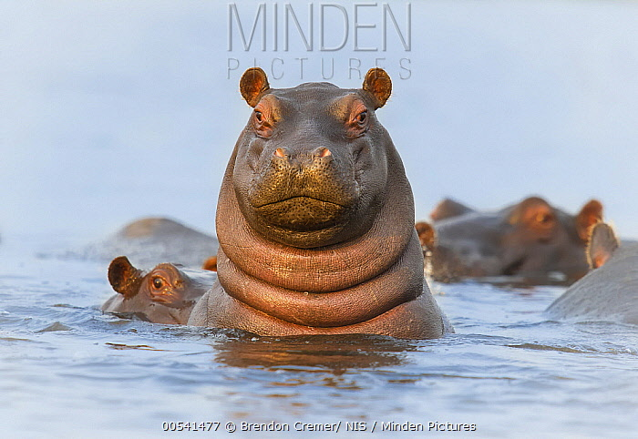 Hippopotamus (Hippopotamus amphibius) juvenile on alert, Chobe National Park, Botswana  -  Brendon Cremer/ NIS