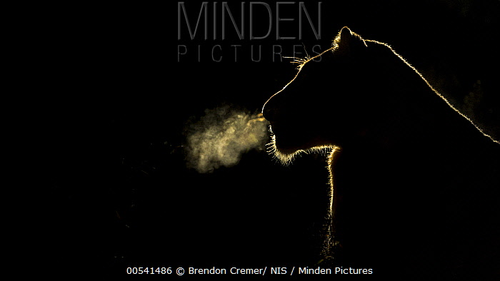 African Lion (Panthera leo) lioness breathing at night, Sabi Sands Game Reserve, South Africa  -  Brendon Cremer/ NIS