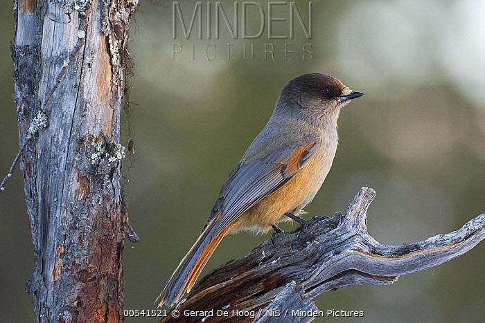 Siberian Jay (Perisoreus infaustus), Finland  -  Gerard de Hoog/ NiS