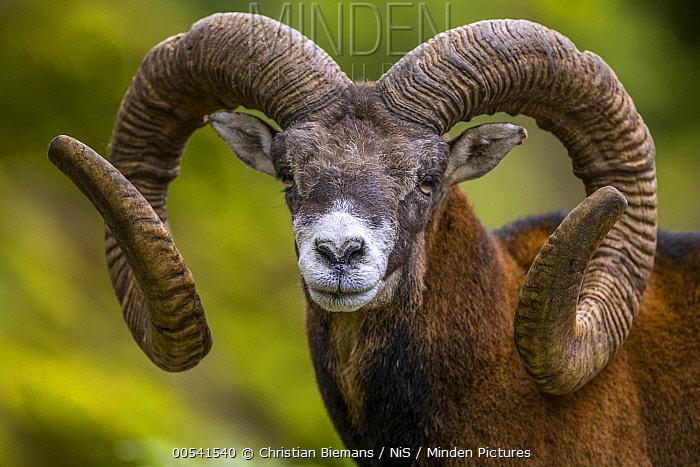 Horn Minden minden pictures stock photos mouflon ovis orientalis ram with