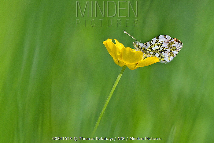 Orange Tip (Anthocharis cardamines) butterfly male on Meadow Buttercup (Ranunculus acris) flower, Paris, France  -  Thomas Delahaye/ NIS