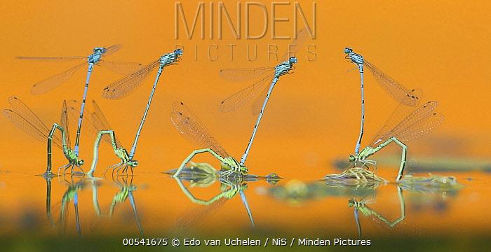 Azure Damselfly (Coenagrion puella) group mating on water surface, Netherlands  -  Edo van Uchelen/ NiS