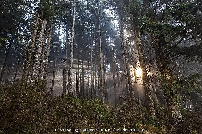 Douglas Fir (Pseudotsuga menziesii) forest at sunrise, France  -  Cyril Verron/ NIS