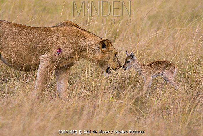 African Lion (Panthera leo) female looking at Kob (Kobus kob) calf, Queen Elizabeth National Park, Uganda  -  Adri de Visser