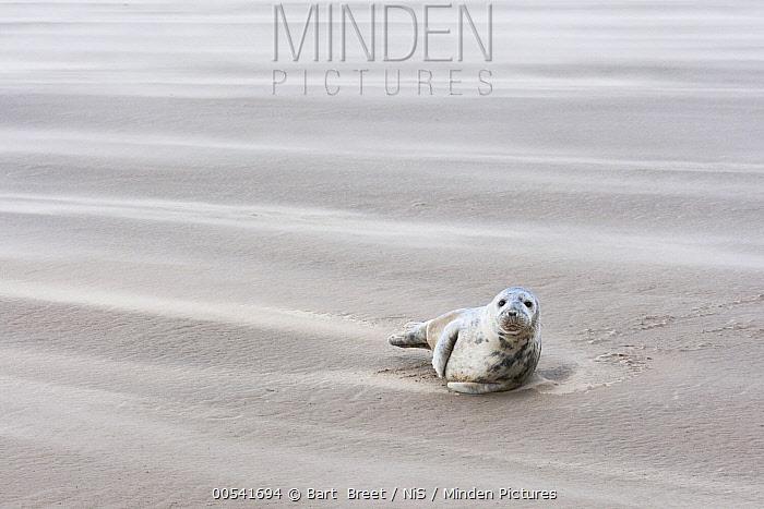 Grey Seal (Halichoerus grypus) on beach, Donna Nook, Lincolnshire, England, United Kingdom  -  Bart  Breet/ NIS