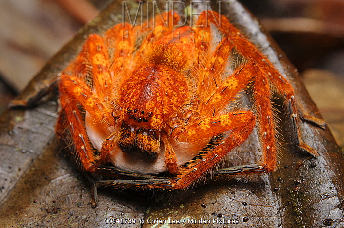 Huntsman Spider (Heteropoda sp) female clutching her egg sac, Lubang Buaya, Batang Ai National Park, Malaysia  -  Ch'ien Lee