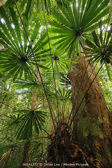 Malesiana Palm (Licuala petiolulata), Nanga Sumpa, Batang Ai National Park, Malaysia  -  Ch'ien Lee