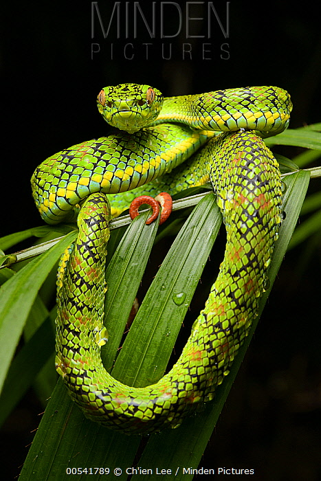 Schultz' Pit Viper (Trimeresurus schultzei) showing red tail tip used for caudal luring, Thumb Peak, Palawan Island, Philippines  -  Ch'ien Lee