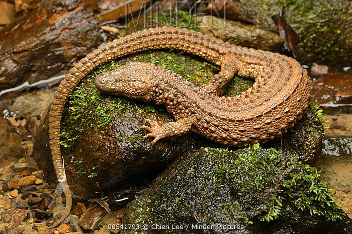 Earless Monitor Lizard (Lanthanotus borneensis), Malaysia  -  Ch'ien Lee