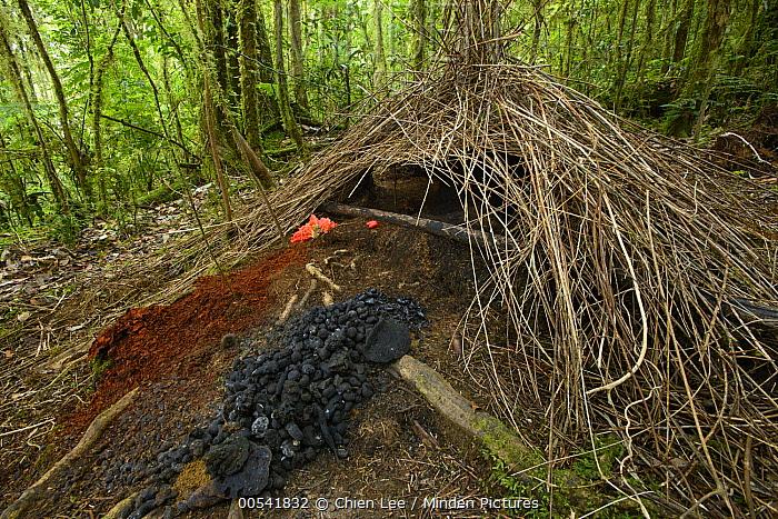 Brown Gardener (Amblyornis inornatus) bower, Syoubri, Mokwam, Indonesia  -  Ch'ien Lee