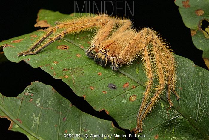 Huntsman Spider (Heteropoda davidbowei), Danum Valley Field Centre, Borneo, Malaysia  -  Ch'ien Lee
