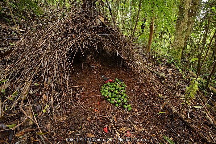 Brown Gardener (Amblyornis inornatus) bower of a juvenile, Syoubri, Mokwam, Indonesia  -  Ch'ien Lee