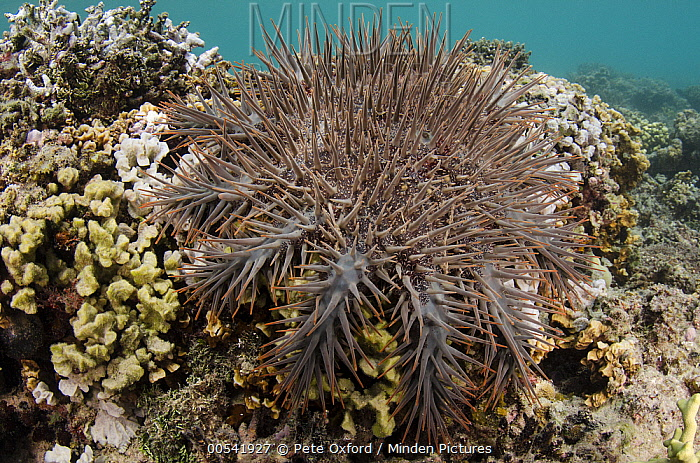 Crown-of-thorns Starfish (Acanthaster planci) a damaging predator of coral reefs, Fiji  -  Pete Oxford