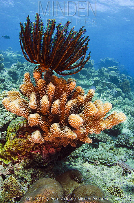 Feather Star (Oxycomanthus bennetti), Rainbow Reef, Fiji  -  Pete Oxford