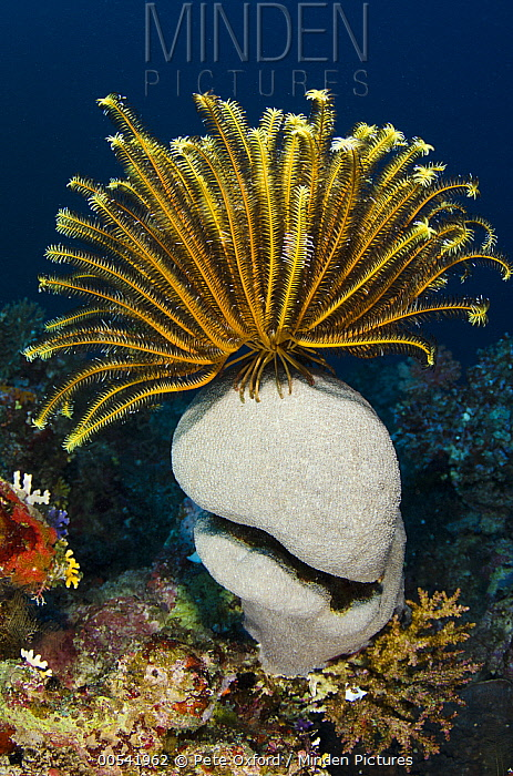 Feather Star (Oxycomanthus bennetti) on coral, Rainbow Reef, Fiji  -  Pete Oxford
