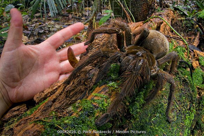 Goliath Bird-eating Spider (Theraphosa blondi) and hand, Suriname  -  Piotr Naskrecki