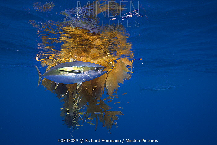 Yellowfin Tuna (Thunnus albacares) and Blue Marlin (Makaira nigricans) beside floating kelp, Nine Mile Bank, San Diego, California  -  Richard Herrmann