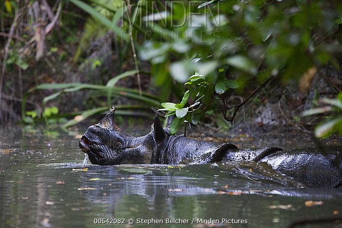 Javan Rhinoceros (Rhinoceros sondaicus) in river, Ujung Kulon National Park, Indonesia  -  Stephen Belcher