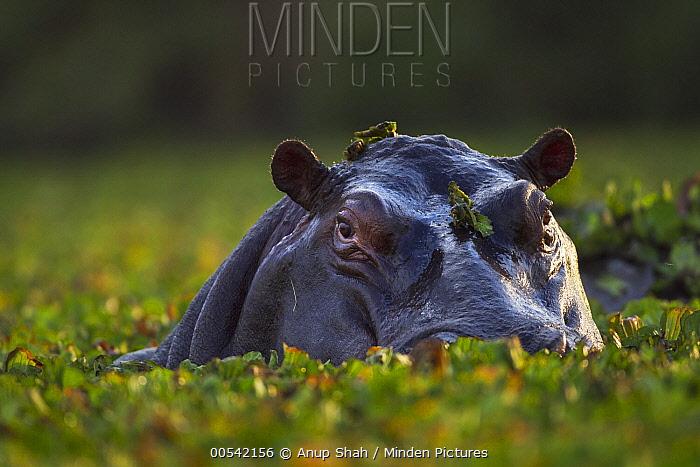 Hippopotamus (Hippopotamus amphibius) with Common Water Hyacinth (Eichhornia crassipes), Masai Mara, Kenya  -  Anup Shah