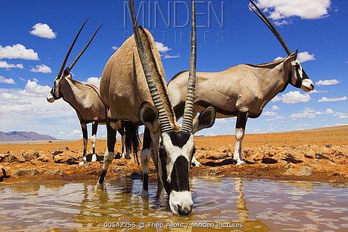 Oryx (Oryx gazella) group drinking at waterhole, NamibRand Nature Reserve, Namibia  -  Theo Allofs