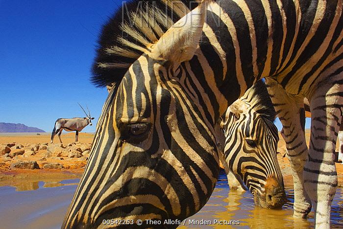 Burchell's Zebra (Equus burchellii) pair drinking at waterhole with Oryx (Oryx gazella) in background, NamibRand Nature Reserve, Namibia  -  Theo Allofs