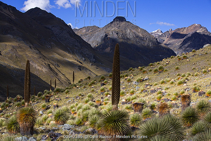 Queen of the Andes (Puya raymondii) plants in steppe, Cordillera Blanca, Peru  -  Cyril Ruoso