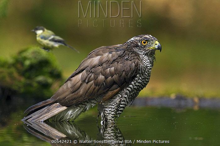Northern Goshawk (Accipiter gentilis) male in pool, Utrecht, Netherlands  -  Walter Soestbergen/ BIA
