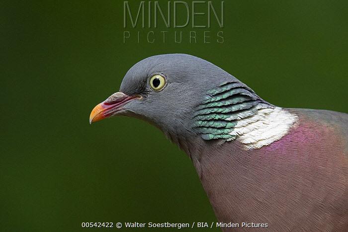 Common Wood-pigeon (Columba palumbus), Utrecht, Netherlands  -  Walter Soestbergen/ BIA