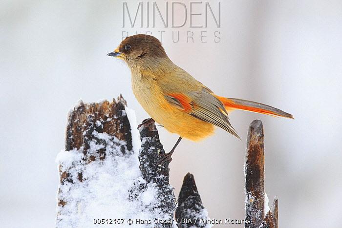 Siberian Jay (Perisoreus infaustus) in winter, Finland  -  Hans Glader/ BIA